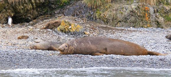 Southern Elephant Seal & Gentoo Penguiin