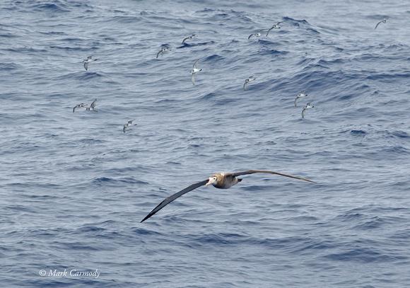 Wandering Albatross and Antarctic Prion