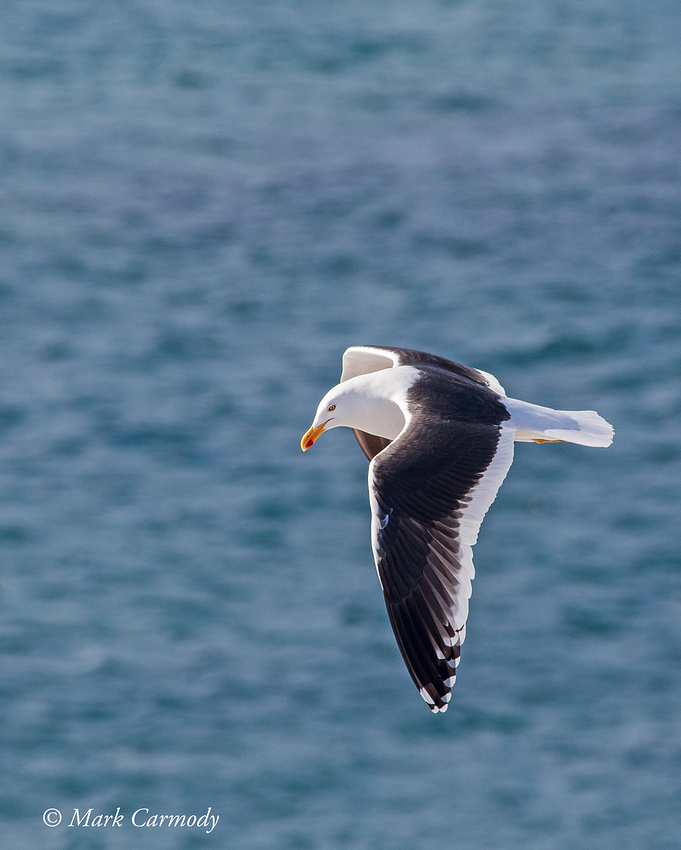 MC006121 Kelp Gull