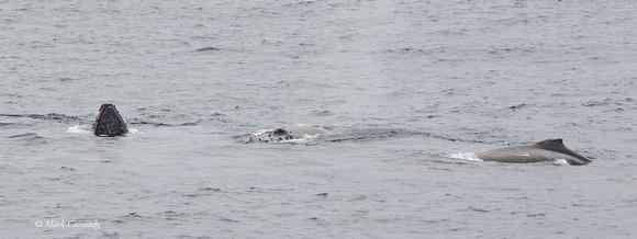 Humpback Whale Triumvirate
